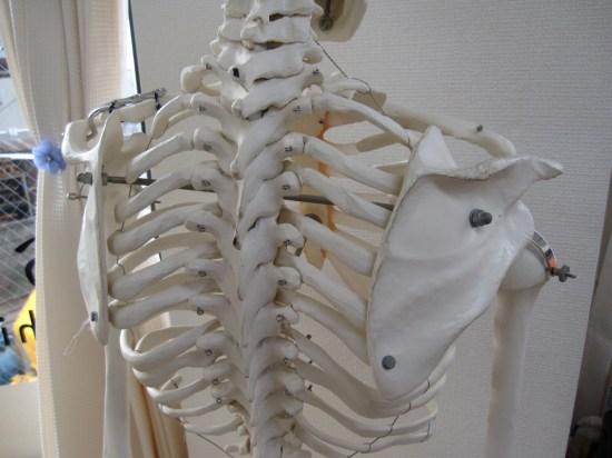 胸椎、背中、背骨、肋骨